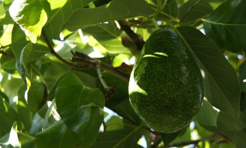 The avocado leaf fights infections and regulates the kidneys