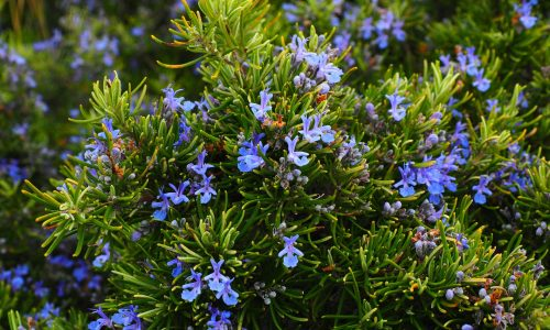 Rosemary strengthens concentration and memory
