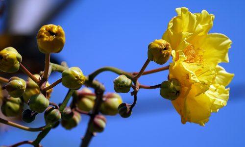 Borututu regenerates the liver and the gallbladder