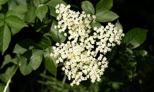 Elderflower helps to overcome mumps and measles