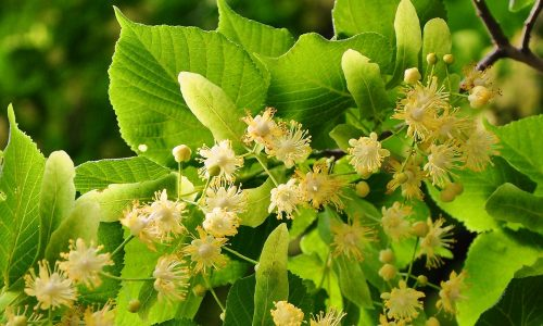 Linden soothes and controls headaches