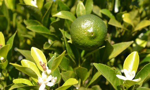 Flor de naranjo para restaurar la tranquilidad