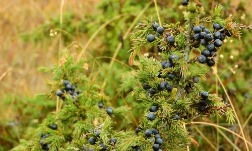 Juniper helps to recover from kidney failure