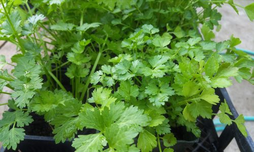 Coriander detoxifies the body from mercury, lead or aluminum