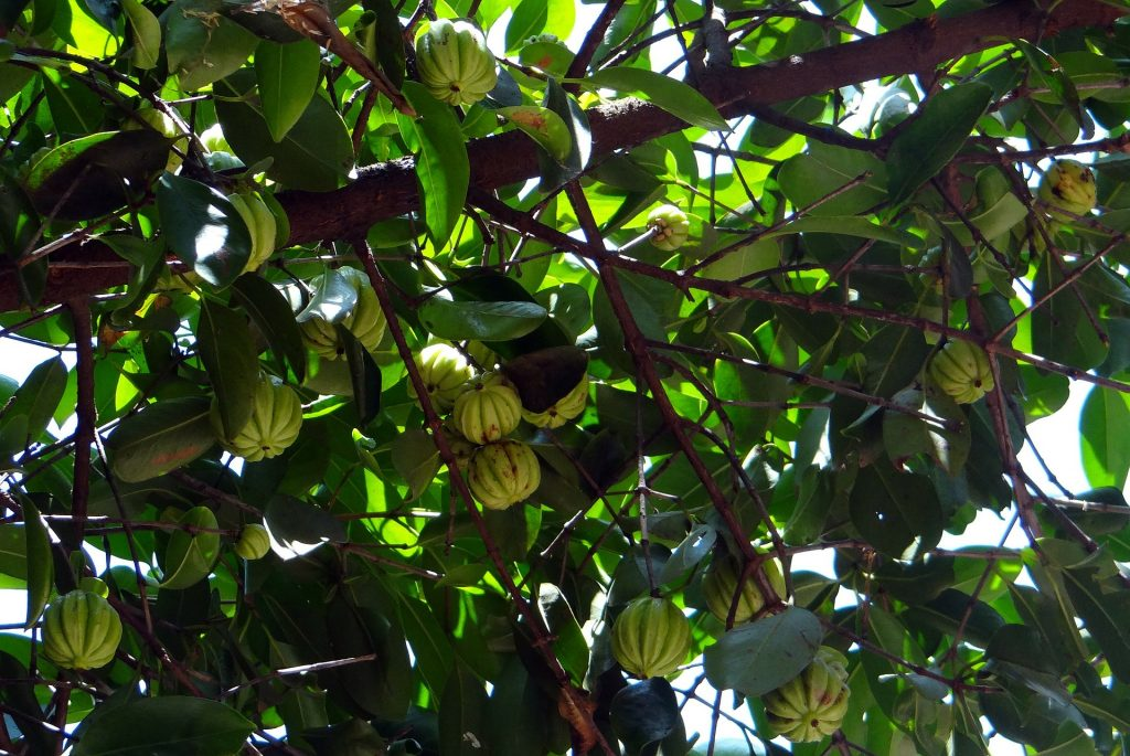 Garcinia Cambogia Is Considered An Ally In Weight Loss