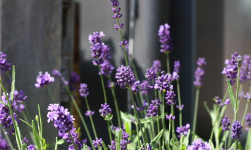 Lavender to soothe the nerves